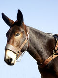 Mule de paquet Photographie stock