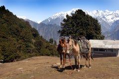 Mule de repos Photo stock