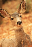 Mule Deer Royalty Free Stock Images
