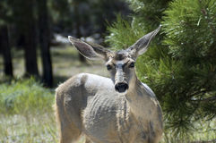 Mule Deer. In the woods with a curious look Stock Image