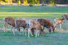 Mule deer. In Bryce Canyon National Park, Utah Royalty Free Stock Photo