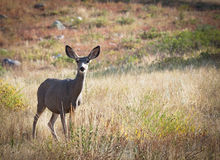 Mule Deer Stock Photo