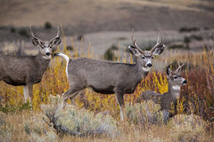 Mule Deer. The mule deer bucks of the western states stay together for safety stock images