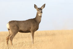 Mule Deer. A Mule Deer standing in the morning light in an grassy field Royalty Free Stock Photos
