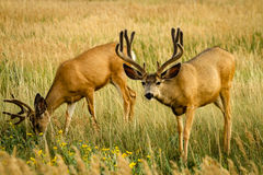Mule Deer Royalty Free Stock Photography