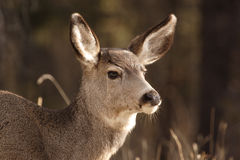 Mule deer. Mule deer shot in Jasper National Park Stock Photography