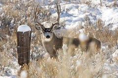 Free Mule Deer Stock Image - 48787631