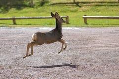 Mule Deer. (Odocoileus hemionus Stock Images