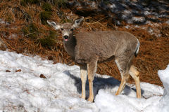 Mule Deer 6 Stock Images