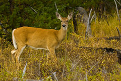 Mule Deer. Doe Standing in Forest Setting Royalty Free Stock Images
