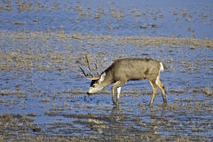 Mule Deer Stock Images