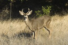 Mule deer. The California mule deer species is widespread throughout northern and central California Royalty Free Stock Image