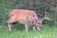 Free Mule Deer Stock Image - 81859481
