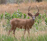Mule Deer. In Capitol Reef National Park, Utah Stock Photography