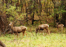 Mule Deer on Alert. Image of two does and a fawn in a small mountain meadow Royalty Free Stock Image