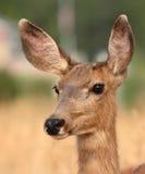 Mule Deer All Ears. A female Mule Deer showing her large ears in Colorado Royalty Free Stock Images