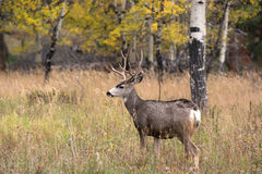 Mule deer in aspen Royalty Free Stock Photography