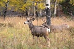 Mule deer in aspen royalty free stock photos