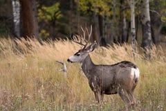 Mule deer in aspen Stock Image
