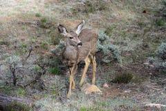 Mule deer, az Stock Photo