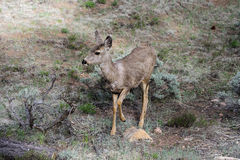 Mule deer, az Royalty Free Stock Photography