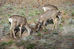Mule deer, az Stock Images