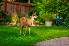 Mule Deer in Backyard Stock Images