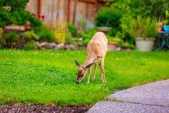 Mule Deer in Backyard Royalty Free Stock Photo