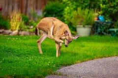 Mule Deer in Backyard Stock Photos