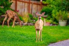 Mule Deer in Backyard Royalty Free Stock Photography