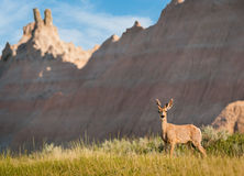 Mule Deer with Badlands Background Royalty Free Stock Photo