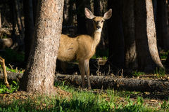 Mule Deer Behind A Tree Royalty Free Stock Image