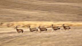 Mule Deer bounding across Prairie Royalty Free Stock Image