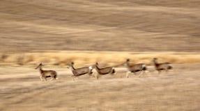 Mule Deer bounding across Prairie. Canada Royalty Free Stock Image