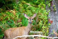 Mule deer in British Columbia Canada Stock Image