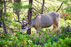 Mule deer in Bryce Canyon Stock Image