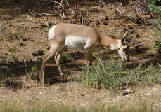 Mule Deer at Bryce Canyon. Mule Deer Grazing at Bryce Canyon Stock Image