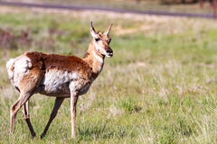 Mule deer in Bryce Canyon Stock Images