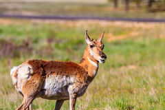 Mule deer in Bryce Canyon Stock Photography