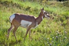 Mule deer, Bryce canyon Stock Image