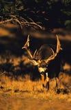 Mule Deer Buck. A mule deer buck walking toward the camera Royalty Free Stock Image