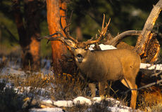 Mule Deer Buck Royalty Free Stock Images