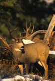 Mule Deer Buck Royalty Free Stock Photography