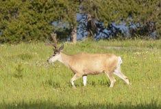 Mule deer buck Royalty Free Stock Image