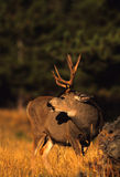 Mule Deer Buck Stock Photography