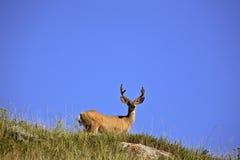 Mule Deer buck Stock Images
