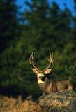 Mule Deer Buck. A mule deer buck standing behind a rock Stock Photo