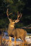 Mule Deer Buck stock photos