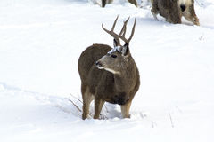 Mule Deer Buck on alert! Stock Images