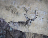 Mule Deer Buck royalty free stock photography